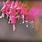 Fuchsia  by jane mcainsh