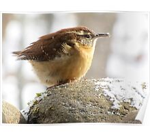 Carolina Wren on coldest day since 1917 Poster