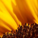 Sunflower by BlaizerB