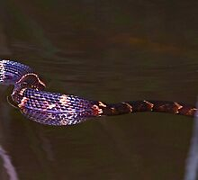 Broad Banded Water Snake by SuddenJim