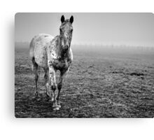 Appaloosa in the fog (2) Canvas Print