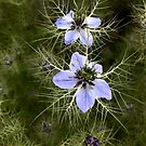 love in a mist by Tine  Wiggens