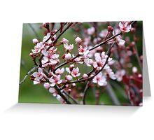 Plum Blossoms. Greeting Card