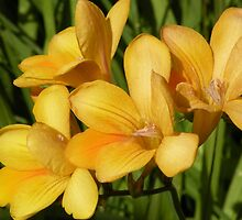 Freesia Spray by Trish Meyer