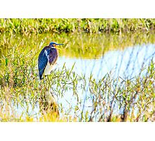 Tricolored Heron at Celery Fields Photographic Print
