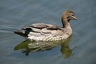 Australian Wood Duck by Trish Meyer