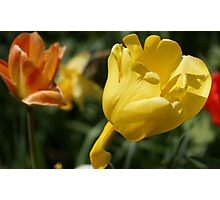 Yellow Tulip with Friends Photographic Print