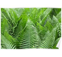 Leaves of Polystichum ferns Poster