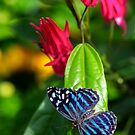 blue wings by Manon Boily
