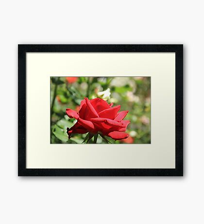 Red Rose at Queen Elizabeth Park, Print, framed print or canvas Framed Print