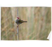 Red Browed Finch Poster