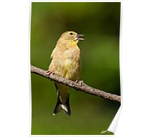 American Goldfinch Singing Poster