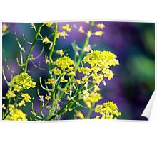 Yellow Rocket Flower Blossoms Poster