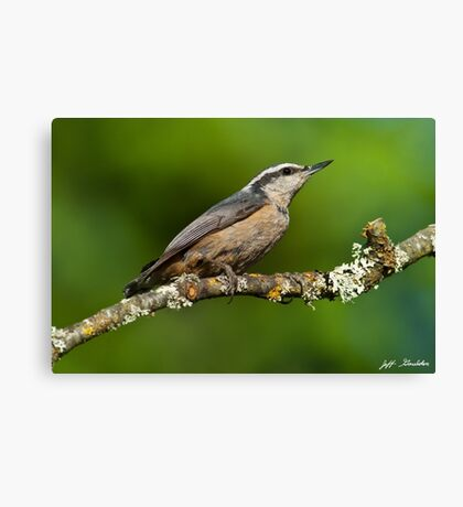 Red Breasted Nuthatch in a Tree Canvas Print
