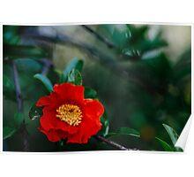Pomegranate flower Poster