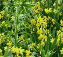 A Riot of Daffodils and Tulips - Keukenhof Gardens Sticker