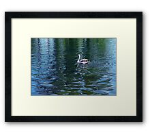 Swan in the water in the park. Framed Print