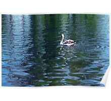 Swan in the water in the park. Poster