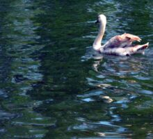 Swan in the water in the park. Sticker