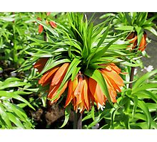 Bad Hair Day - Crown Imperial Photographic Print