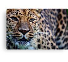 Amur Leopard (2) Canvas Print