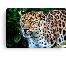 Amur Leopard (5) Canvas Print