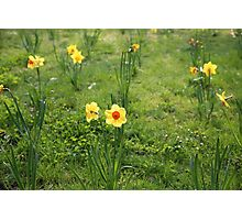 Daffodil standing tall Photographic Print