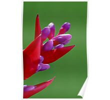 Bromeliad on Green Poster