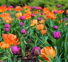 Colorful Tulip Display by Carolyn  Fletcher