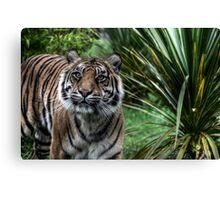 Sumatran Tiger (2) Canvas Print