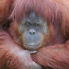 Sumatran Orangutan by Jenny Brice