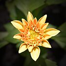 Bright Little Dahlia by Helmar Designs