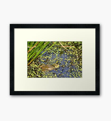 Marsh Frog Framed Print
