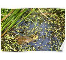 Marsh Frog Poster