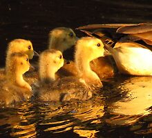 Baby Geese On Golden Pond by lorilee