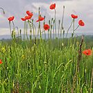 Wild Poppies by James Brotherton