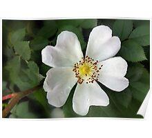 bright white flower Poster