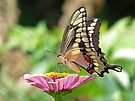 Giant Swallowtail Butterfly by Susan S. Kline