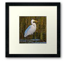 Great Egret Stroll      Framed Print