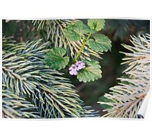 Blue Spruce and Creeping Charlie Flowers in Garden Poster