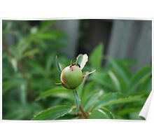 Ants Kissing on a Peony Bud Poster