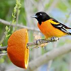 Baltimore Oriole by Laurie Minor