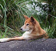 Healsville Santuary - Dingo Relaxing by Dean Osborne