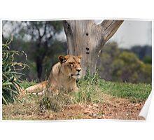 Werribee Zoo - Lioness Poster
