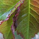 Rose Leaves by Maryanne Lawrence