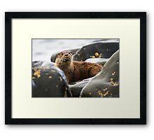 Arran Otter Framed Print