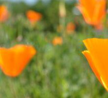 The California Poppy Eschscholzia californica Sticker