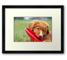 Toller Puppy with Frisbee Framed Print