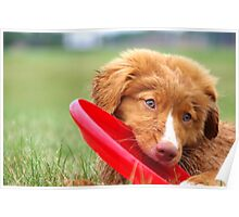 Toller Puppy with Frisbee Poster