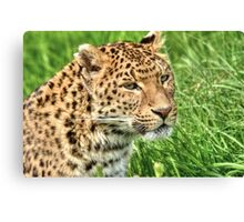 North Chinese Leopard (2) Canvas Print
